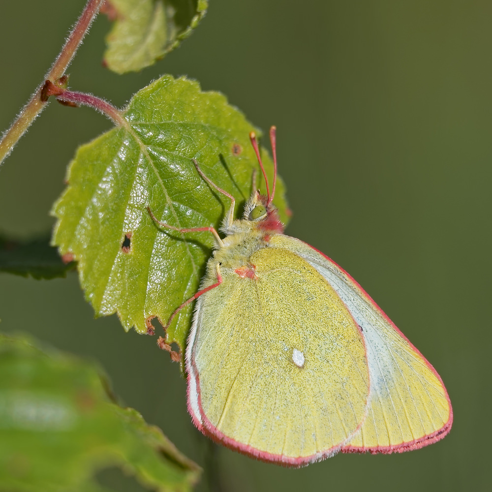 Colias palaeno Solitaire Moorland Clouded Yellow