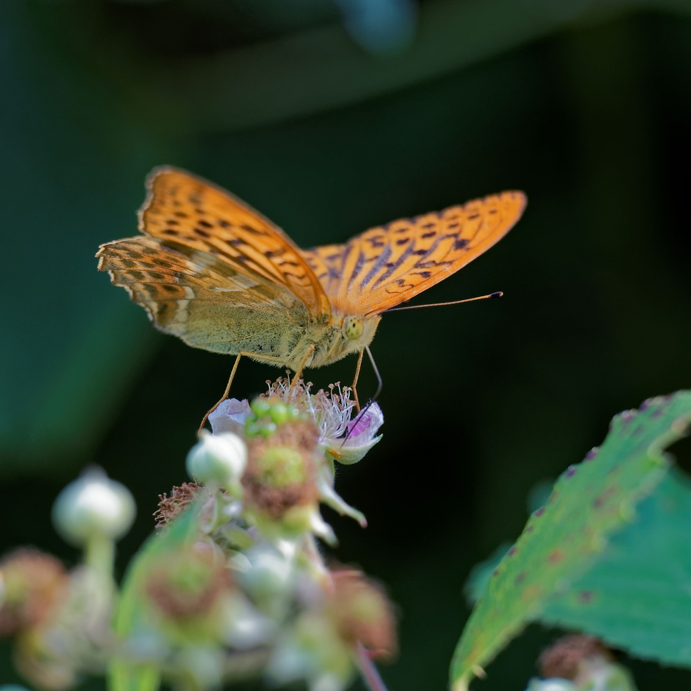 Argynnis paphia (Nymphalidae)  - Tabac d'Espagne - Silver-washed Fritillary. jeudi 06 juillet 2017, alt.=677m - Ain [France].
