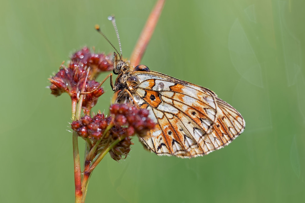 Boloria selene Petit Collier argenté Small Pearl-bordered Fritillary