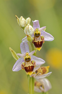 Ophrys scolopax subsp. apiformis