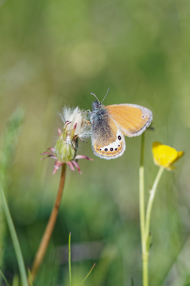 Coenonympha gardetta (Nymphalidae)  - Satyrion, Philéa Hautes-Alpes [France] 26/06/2019 - 2576m