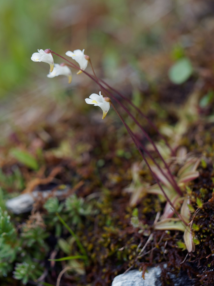Pinguicula alpina (Lentibulariaceae)  - Grassette des Alpes - Alpine Butterwort District_de_Conches [Suisse] 19/07/2019 - 2061m